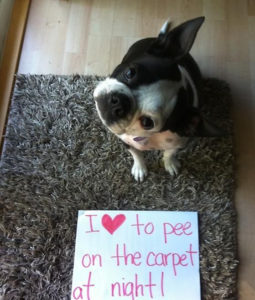 pet urine carpet treatment